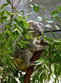 Eukalyptus-koala
